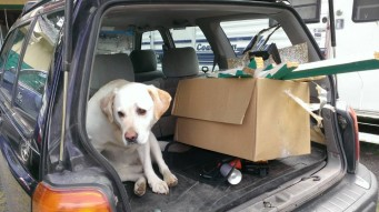 Photo of Labrador sitting in the trunk of a car.