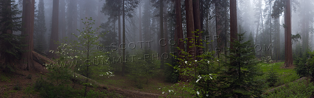Mist engulfed trees viewed from under the forest canopy