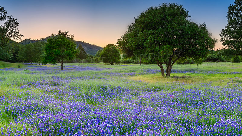 Field of wildflowers, dotted with trees, in evening light.