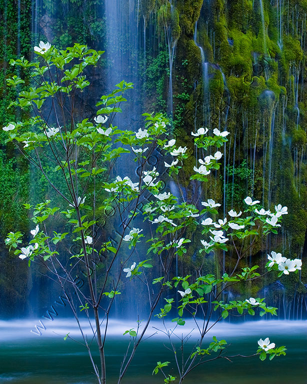 Waterfall seen behind blooming branches of a dogwood tree